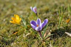 Grupo pequeno de açafrões na grama no sol Imagem de Stock