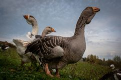 Grupo pequeno de gansos selvagens que andam na grama Foto de Stock Royalty Free