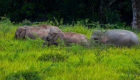 Grupo pequeno de passeio selvagem do elefante Fotos de Stock Royalty Free