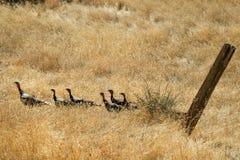 Grupo pequeno de perus selvagens fotografia de stock royalty free