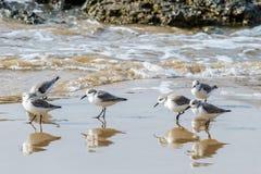 Grupo pequeno de sanderlings dos borrelhos na praia de Califórnia Imagens de Stock Royalty Free