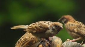 Grupo perca del montanus de Philippine Maya Bird Eurasian Tree Sparrow o del transeúnte en las ramitas que buscan la comida metrajes