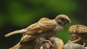 Grupo perca del montanus de Philippine Maya Bird Eurasian Tree Sparrow o del transeúnte en las ramitas que picotean la comida almacen de metraje de vídeo
