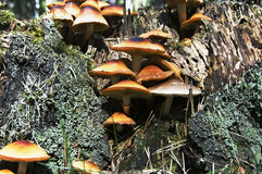 Grupo pero seta venenosa Foto de archivo libre de regalías