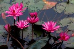 Grupo rosado o violeta de flor de loto en el lago o la charca imagen de archivo libre de regalías
