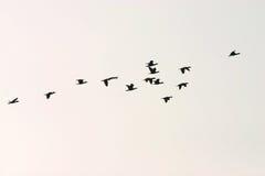 Grupo selvagem do ganso Fotografia de Stock