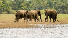 Grupo selvagem dos elefantes imagem de stock royalty free