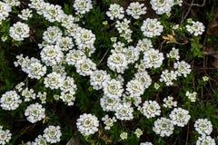 """Grupo sempervirens Iberis do †das flores brancas do floco de neve do """" imagem de stock royalty free"""