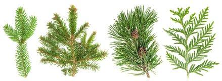 Grupo sempre-verde do ramo de árvore isolado no branco Plantas coníferas Imagem de Stock