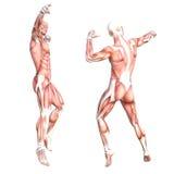 Grupo skinless saudável do sistema de músculo do corpo humano ilustração royalty free