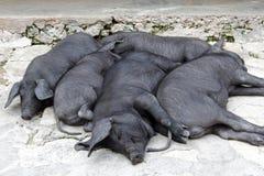 Grupo Snoozing de porcos ibéricos pretos Imagens de Stock
