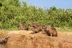 Grupo social del Capybara a lo largo del borde del Riverbank fotos de archivo