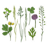 Grupo tirado mão das flores selvagens Ervas da tinta na cor Ilustração do vetor do fitoterapia Fotografia de Stock Royalty Free