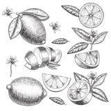 Grupo tirado mão do cal ou do limão do vetor Partes inteiras, cortadas meias, esboço da licença Ilustração gravada fruto do estil Fotos de Stock