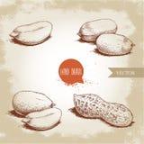 Grupo tirado mão dos amendoins do estilo do esboço Alimento biológico Composições da semente e vagem do amendoim Ilustração retro ilustração royalty free