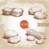Grupo tirado mão dos amendoins do estilo do esboço Alimento biológico Composições da vagem da semente e do amendoim Ilustração re ilustração do vetor