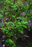 Grupo verde da folha no potenciômetro Imagens de Stock