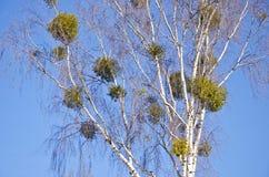 Grupo verde del muérdago en árbol de abedul Imágenes de archivo libres de regalías