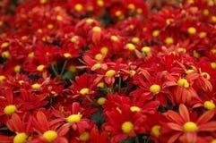 Grupo vermelho da flor Fotos de Stock