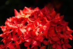 Grupo vermelho tropical nativo do Rubiaceae da flor no estilo clássico em b Fotografia de Stock