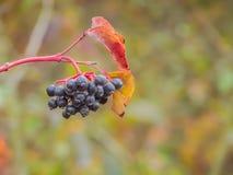 Grupo Wolfberry Imagem de Stock