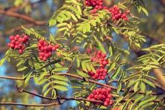Grupos amadurecidos da cinza de montanha em uma árvore foto de stock royalty free