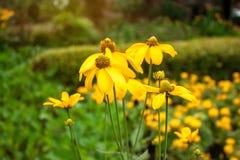 Grupos bonitos das pétalas amarelas da planta de florescência de Sunchoke ou para saber como a alcachofra ou a maçã e o sunroot d imagens de stock