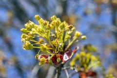 Grupos bonitos dos botões de folha minúsculos da árvore que abrem na mola adiantada Fotografia de Stock