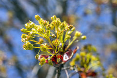 Grupos bonitos dos botões de folha minúsculos da árvore que abrem na mola adiantada Foto de Stock Royalty Free