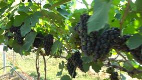 Grupos da suspensão fresca das uvas vermelhas no vinhedo vídeos de arquivo