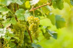 Grupos das uvas brancas Foto de Stock Royalty Free