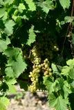 Grupos das uvas brancas com folhas imagem de stock royalty free