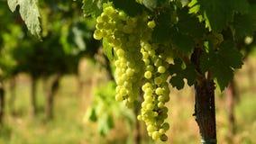 Grupos das uvas brancas em um vinhedo do Chianti em um dia ensolarado toscânia filme