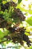 Grupos das uvas maduras que crescem no vinhedo imagens de stock royalty free