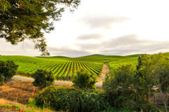 Grupos das uvas para vinho que crescem no vinhedo Fotografia de Stock Royalty Free