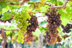 Grupos das uvas para vinho que penduram na videira com folhas verdes Imagem de Stock