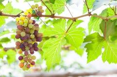 Grupos das uvas para vinho que penduram na videira com folhas verdes Foto de Stock
