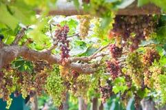 Grupos das uvas para vinho que penduram na videira com folhas verdes Fotos de Stock Royalty Free