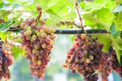 Grupos das uvas para vinho que penduram na videira com folhas verdes Fotografia de Stock Royalty Free