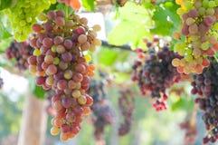 Grupos das uvas para vinho que penduram na videira com folhas verdes Imagens de Stock Royalty Free