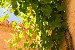 Grupos das uvas verdes que penduram no sol na frente de uma parede de pedra velha imagens de stock