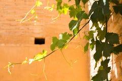 Grupos das uvas verdes que penduram no sol na frente de uma parede de pedra velha imagem de stock