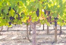 Grupos das uvas vermelhas que crescem em um dos vinhedos em Stellen Fotos de Stock