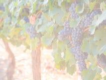 Grupos das uvas vermelhas que crescem em um dos vinhedos em Stellen Imagem de Stock Royalty Free