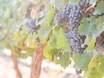 Grupos das uvas vermelhas que crescem em um dos vinhedos em Stellen Imagens de Stock Royalty Free