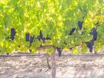 Grupos das uvas vermelhas que crescem em um dos vinhedos em Stellen Foto de Stock