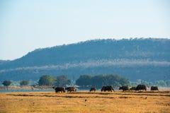 Grupos de búfalos que andam no campo em rural imagem de stock