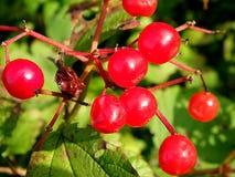 Grupos de bagas vermelhas do viburnum em um ramo, Imagem de Stock