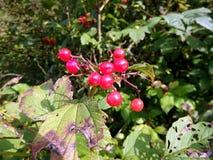 Grupos de bagas vermelhas do viburnum em um ramo, Imagens de Stock