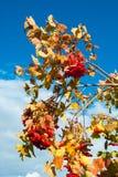 grupos de bagas vermelhas em ramos de árvore imagem de stock